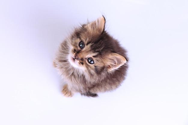 작은 새끼 고양이 흰색 절연