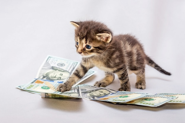 Small kitten near dollars. counting earnings, profit from business