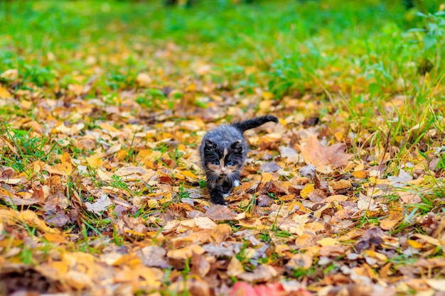 A small kitten on the path with leaves. kitten on a walk in autumn. pet.