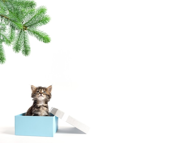 Small kitten sits in a gift box and looks up at a branch of spruce with copy space
