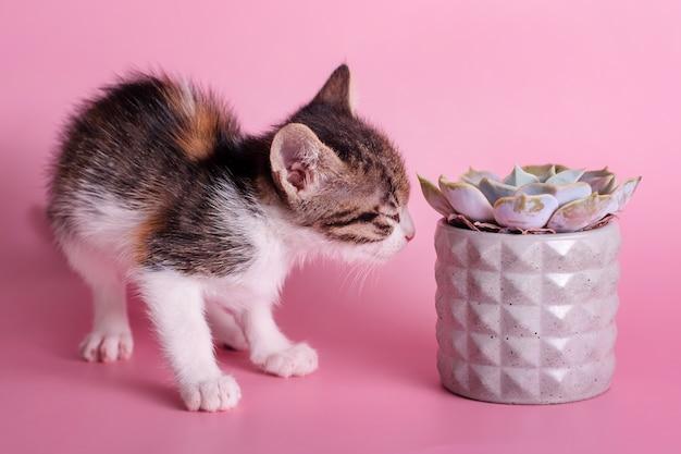 Маленький котенок нюхает кактус. милая кошка нюхает суккулент в сером глиняном горшочке на розовой поверхности. животные и растения, открывая для себя мироздание.
