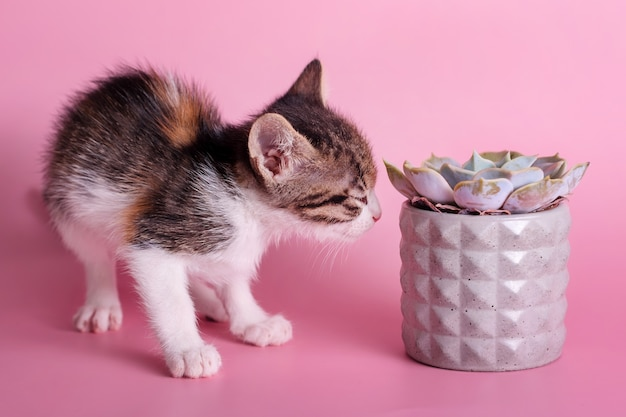 Small kitten sniffing cactus. cute cat sniffs a succulent in grey clay pot on pink surface. pets and plants, discovering the world concept.