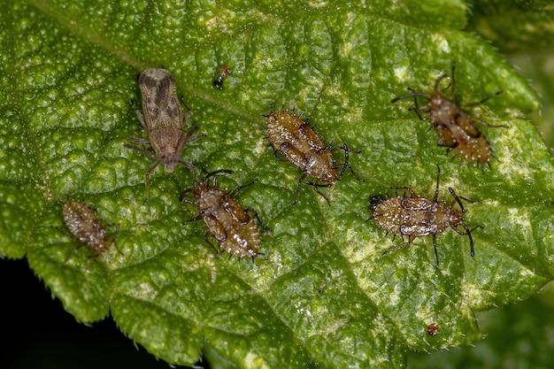 Small lace bug of the family tingidae