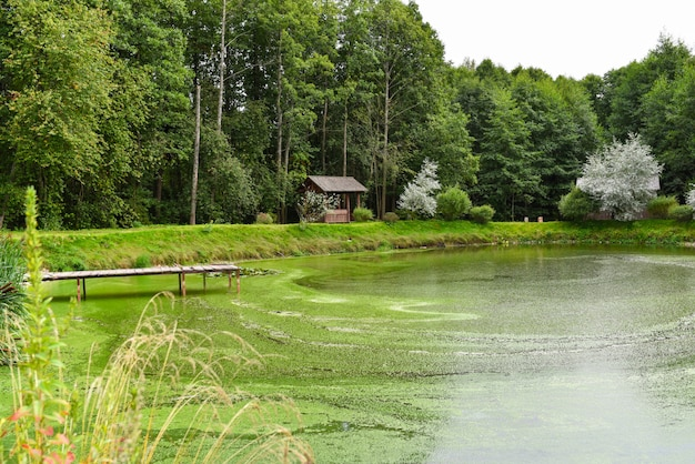 A small lake with green algae in the forest