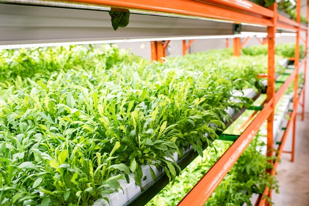 큰 현대 온실의 선반에서 자라는 정원 채소의 녹색 묘목의 작은 잎