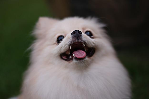 부드러운 초점 배경에서 웃는 얼굴로 올려다보는 작은 연한 갈색 포메라니안 개