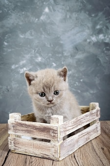 A small lilac scottish straight kitten in a wooden box. cat looking carefully. vertical view