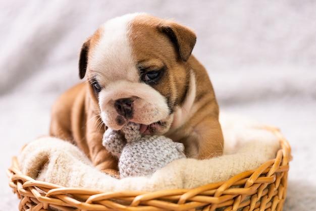 Small, little english bulldog puppy, baby, newborn