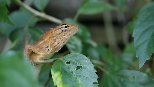 葉の間の小さなトカゲ、野生のドラゴン爬虫類動物。ジャングルの吸血鬼のエキゾチックな熱帯ヤモリ。