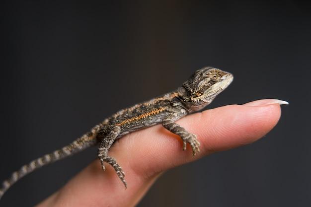 인간의 손에 크롤 링하는 작은 도마뱀