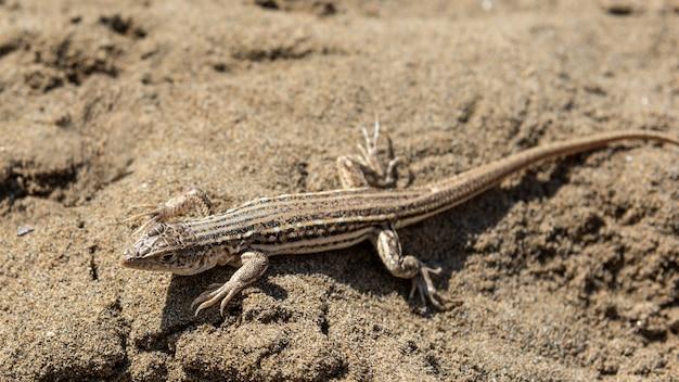 모래에 작은 도마뱀