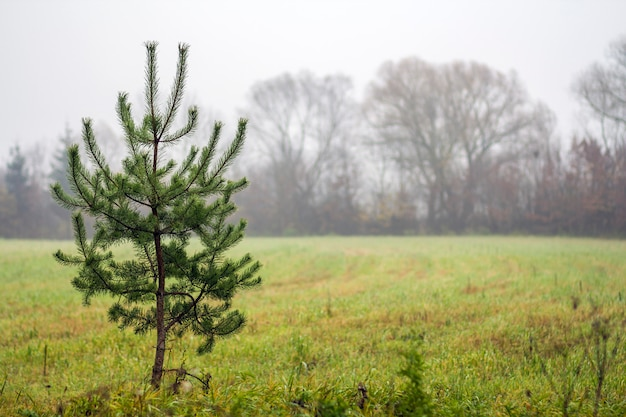 Small lonely pine tree standing on field in foggy weather