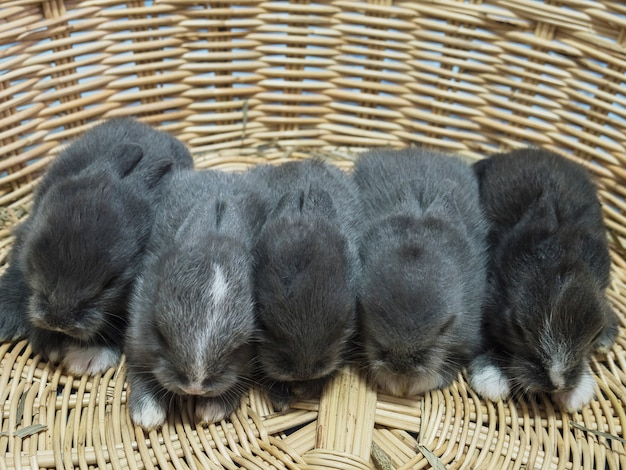 Small lovely little local thai rabbits