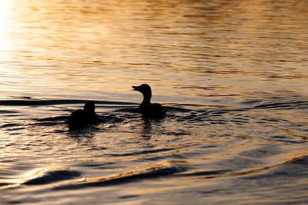 Small low wild ducks, beautiful waterfowl ducks in spring or summer, waterfowl wild ducks in the wild
