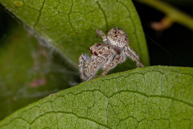 Small male jumping spider of the subtribe dendryphantina