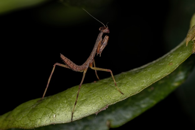 Small mantid nymph of the family mantidae