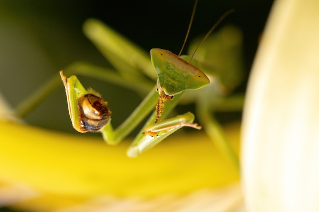 Small mantid nymph of the genus oxyopsis preying on a adult western honey bee of the species apis mellifera