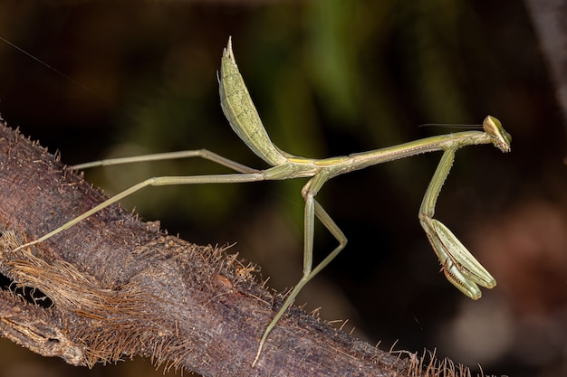 Small mantid nymph of the genus oxyopsis