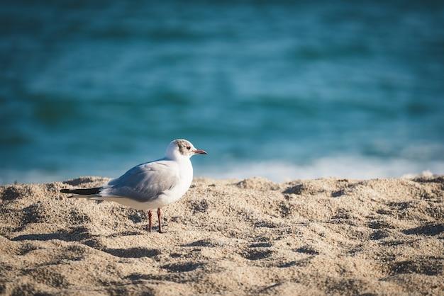 ビーチの砂の上で休んでいる小さなニシズグロカモメ