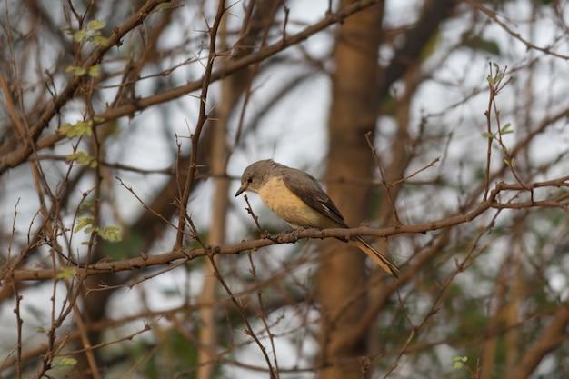 Маленькая мини-птичка птица - один из исчезающих видов птиц, обитающих на ветке дерева.