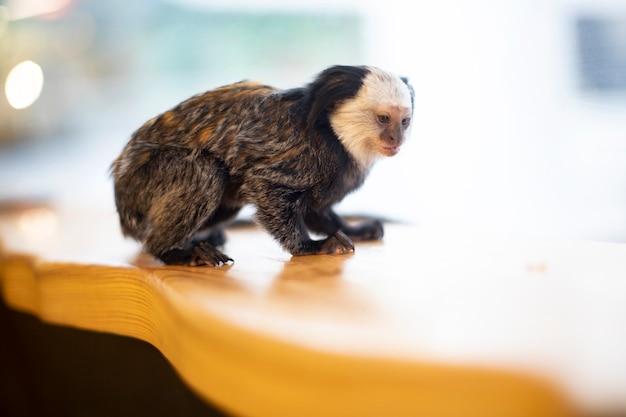 明るい背景に小さな猿。小猿タマリン。