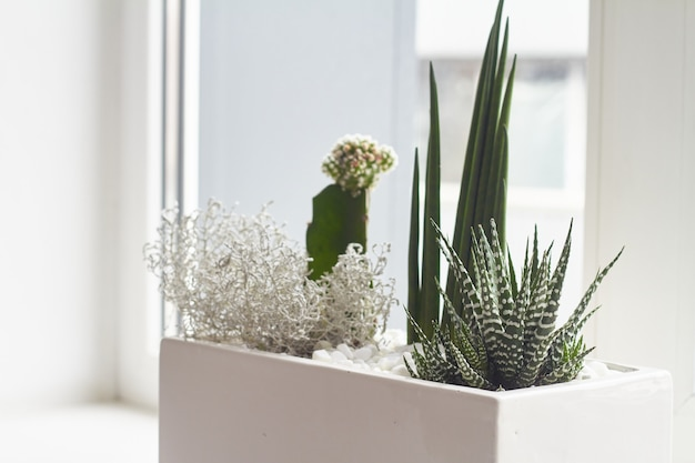 Small multicolored cacti and succulents in a large white pot on the windowsill, soft focus, place for text.