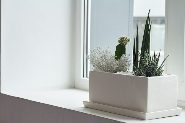 Small multicolored cacti and succulents in a large white pot on the windowsill