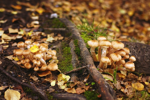 Small mushrooms grow in autumn on the roots of the old tree.