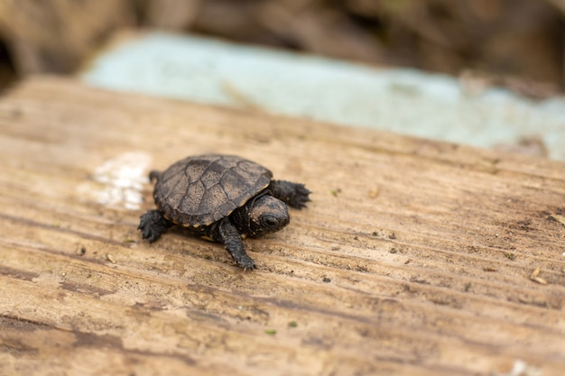 A small newborn turtle crawling on a wooden board