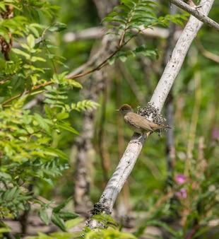 Маленькая птица соловей сидит на мертвой ветке