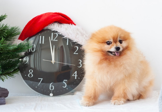 A small orange pomeranian dog next to a clock in a santa claus hat