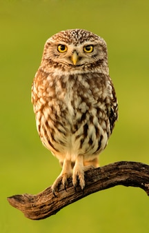 Small owl in the nature