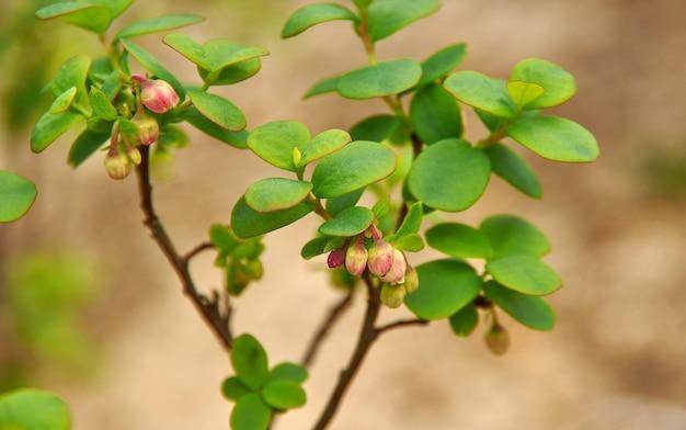 Маленькие бледно-розовые цветки черники северной close uo, vaccinium uliginosum