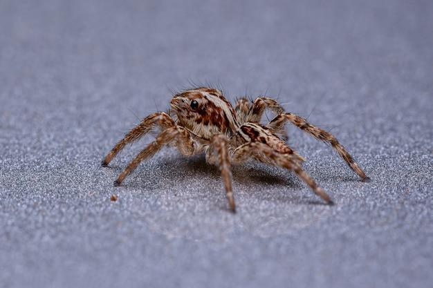 チャスジハエトリグモ種の小さなパントロピカルハエトリグモ