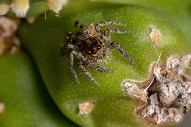 Small pantropical jumping spider of the species plexippus paykulli