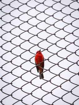 Un piccolo uccello rosso passeriforme è in posa per la telecamera