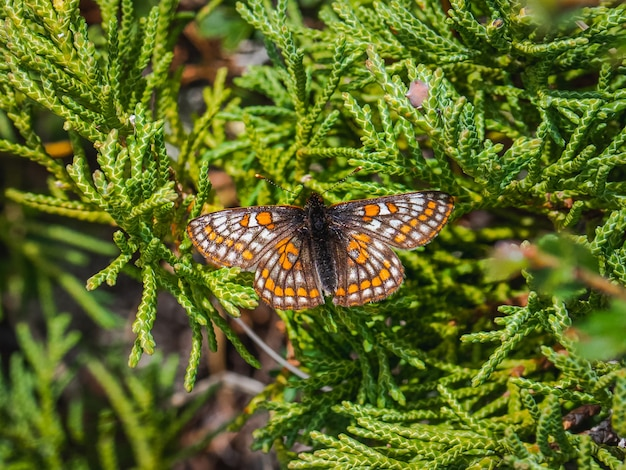 Small pearl-bordered fritillary butterfly (euphydryas iduna) on green juniper, close up.