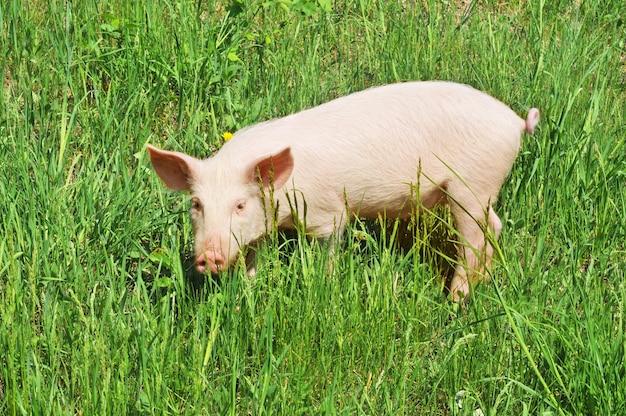 Маленькая свинья на белом фоне