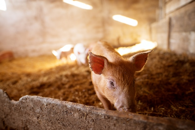 A small piglet in the farm
