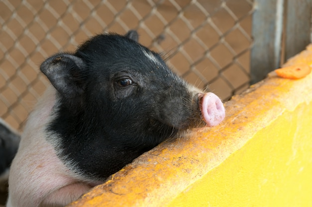 Small piglet waiting feed in the farm