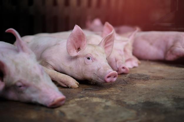 Маленький поросенок ждет корма. группа свиней в помещении на дворе фермы в таиланде. свинья в стойле. хозяйственные животные в таиланде. закройте глаза и размытие.