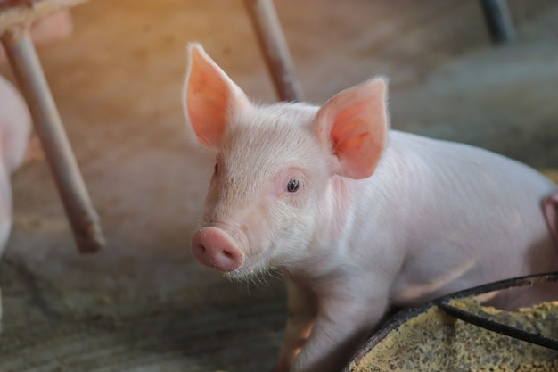 Small piglet waiting feed indoor on a farm yard in thailand swine in the stall close up eyes and blur portrait piggy