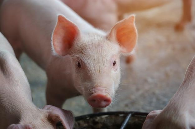 Маленький поросенок ждет корма в помещении на дворе фермы в таиланде. свинья в стойле. крупным планом глаза и размытие. портрет поросенка.