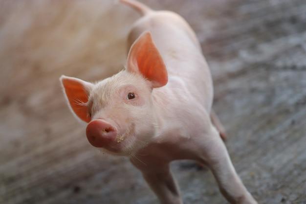 Маленький поросенок ждет корма. свинья в помещении на дворе фермы. свинья в стойле. закройте глаза и размытие. портрет животного.