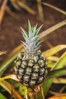Small pineapple growing on plantation in hawaii