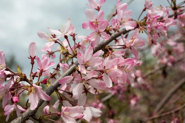 Маленькие розовые вишни на ветке дерева в саду весной