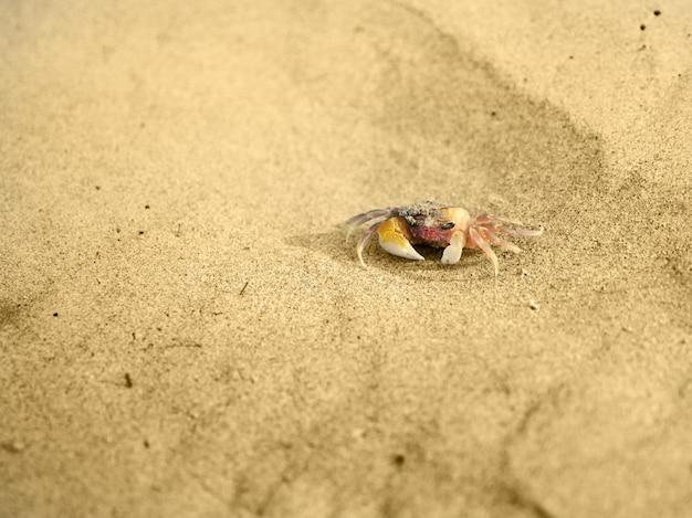 아침에 바다 모래에 작은 분홍색 게