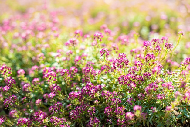 Small pink flowers in the garden in spring. sunny day. floral background. buds and flowering.