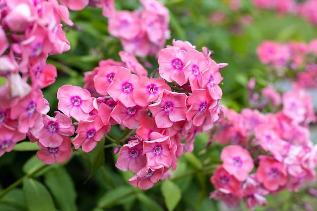 Маленькие розовые цветы в саду