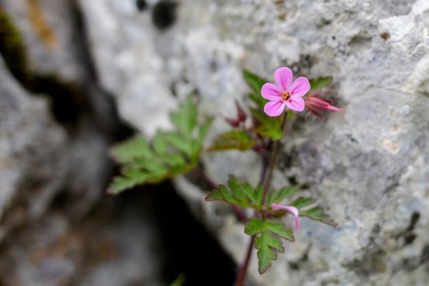 岩にもたれて小さなピンクの山の花